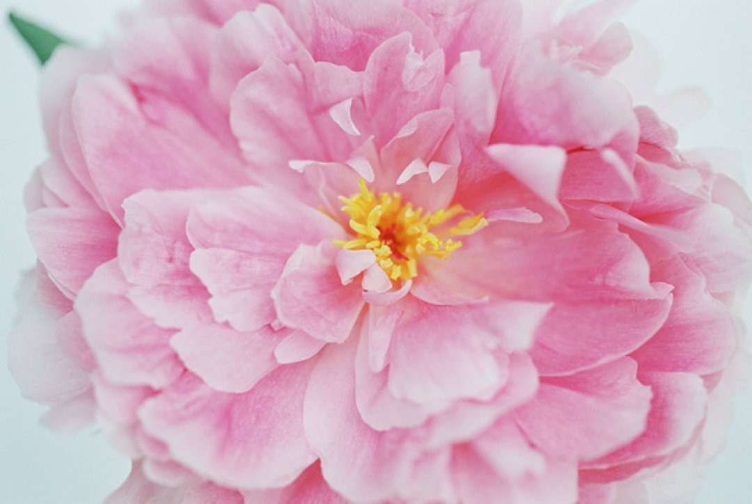 Close up of lovely pink fluffy peony flower