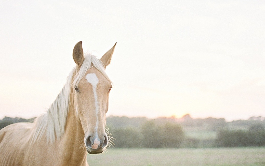 I wanted to be a cowboy! Palomino Horse Photoshoot
